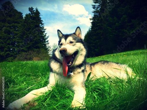 Photo Alaskan Malamute Lying On Grassy Field