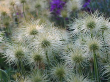Cluster Of White Pasque Flower...