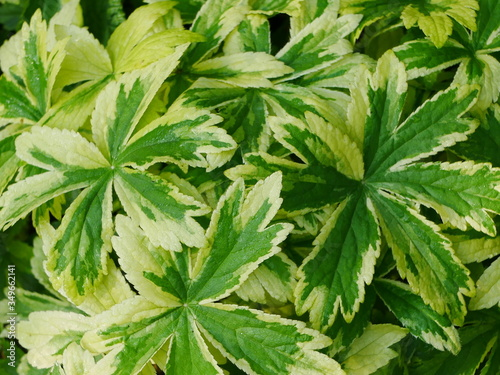 Photo Closeup of yellow and green variegated astrantia leaves