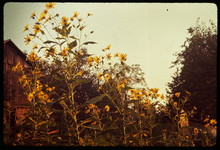 Low Angle View Of Yellow Flowers Growing By Barn Against Sky