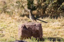 Greater Roadrunner (Geococcyx Californianus) Standing On Large Rock, Davis Mountains State Park, West Texas, USA