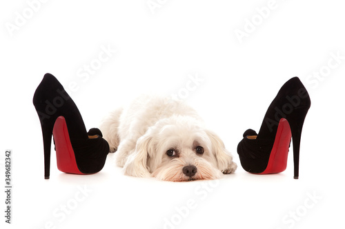 Portrait Of Bichon Frise Relaxing By High Heels On White Background Canvas Print
