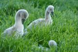 Fototapeta Zwierzęta - Młode łabędzie
