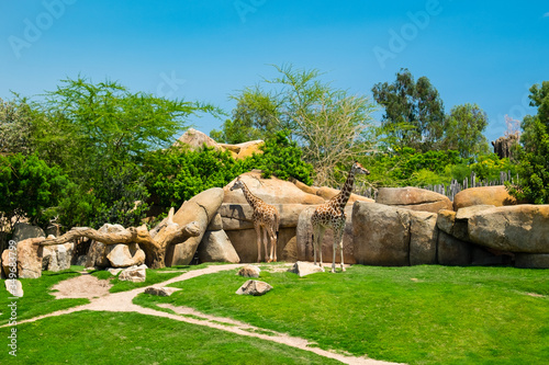 Photo The giraffe is a genus of African artiodactyl mammal to which four species belong; it is the tallest living terrestrial animal, as well as the largest ruminant