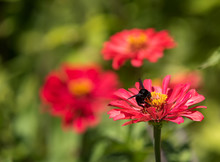 Black Bumblebee Pollinating Red Zinnia Flower With Yellow Center