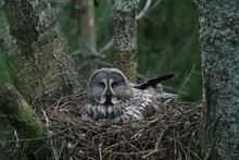 Great Grey Owl Or Great Gray Owl (Strix Nebulosa) On Nest With Chicks