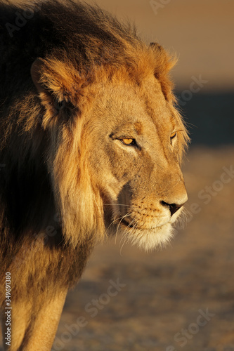 canvas print motiv - EcoView : Portrait of a big male African lion (Panthera leo) in late afternoon light, Kalahari desert, South Africa.