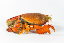 Red Frog Crab Or Spanner Crab (Ranina Ranina) Isolate On White Background