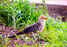 Guira Cuckoo (Guira Guira) Very Common Bird In The Countryside. Numerous Flocks Are Also Frequently Seen In Cities, Looking For Insects And Small Vertebrates. It Can Be Found In Most Parts Of Brazil.