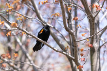 Red Winged Blackbird In Maple ...