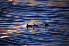 Ducks In The Sea