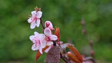 Closeup Of Pink Peach Blossoms On Branch In The Rain, Green Blurred Background