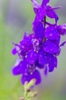 canvas print picture - Close-up Of Water Drops On Purple Flowers