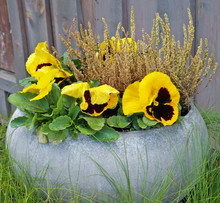 Yellow Spring Pansies Flowers After Rain