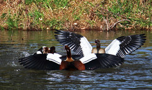 A Group Of Egyptian Geese (Alopochen Aegyptiaca) Fighting On Water Near The Age Of A Lake