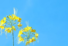 Yellow  Flowers And Buds Of The Flame Tree Or Royal Poinciana And Bright Blue Sky Background.