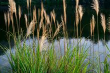 Close Up Reed Flowers Growing Beside Water