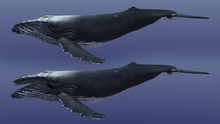 3D Render Of Humpback Whale, H...