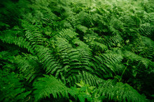 Thick Green Fern In The Forest...