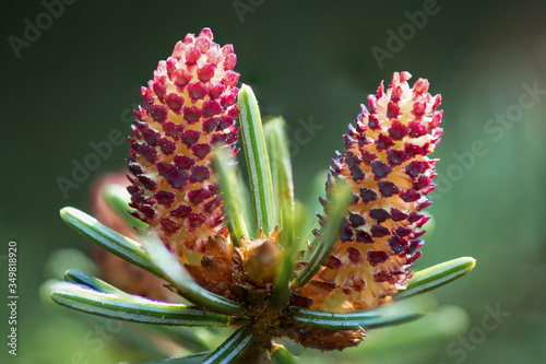 Detailed macro picture of a flowering common spruce (pica abies) Wallpaper Mural