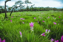 Beautiful Curcuma Sessilis Pink Flowers Bloom In The Rain Forest,  At Pa Hin Ngam National Park Chaiyaphum Province ,Thailand
