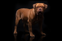 French Mastiff Dogue De Bordea...