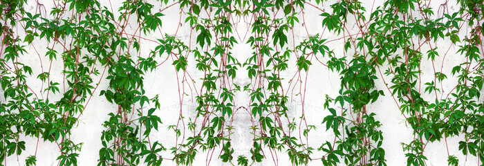 Fototapeta Struktura ściany Climbing plant vines on shabby whitewashed concrete wall. Summer garden vegetation. Wide rustic background