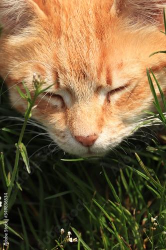 Fototapeta rudy  kociak  śpi  w  trawie obraz