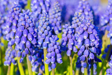 Group Of Blue Grape Hyacinths ...