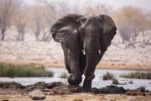 Large Herd Of Elephants Drinki...