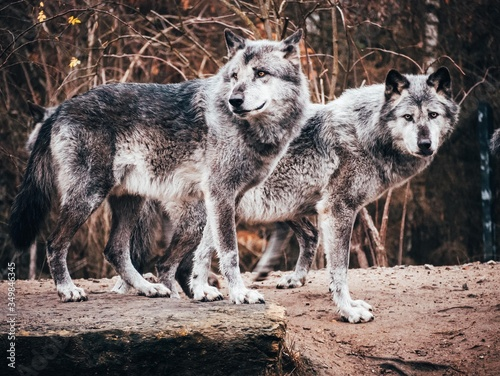Fotografie, Obraz Two grey timber wolves standing in front of dark brown background