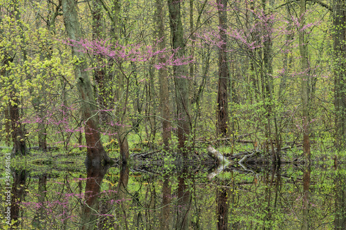 Spring landscape of forest with redbud in bloom and mirrored reflections in calm water, Kalamazoo River shoreline, Michigan, USA
