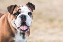 English Bulldog Puppy In Actio...