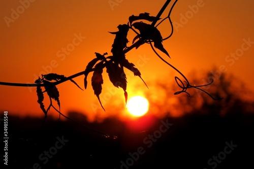Fototapeta wschód słońca na tle gałązki winorośli  obraz