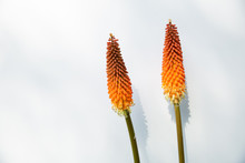 Kniphofia, Red Hot Poker, On White 2