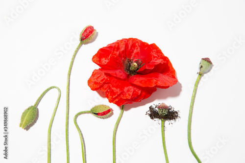 Red poppies and buds 3 - 349868902