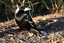 The Pied Butcherbird, Gymnorhi...