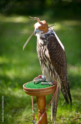Close-up Of Falcon In Captivity Fototapet