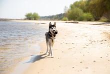 Siberian Husky Runs Along The ...