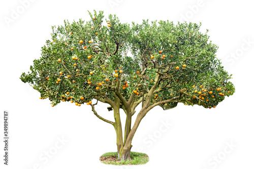 Fototapeta Orange Tree Against White Background