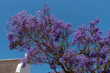Stellenbosch, Western Cape, South Africa. 2019. Branches And Blooms Of A Jacaranda Tree In Late Summer In The Stellenbosch, Western Cape Area Of South Africa.