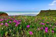 Blumenmeer am Meer. Portugal, Algarve im Frühling