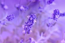 Purple Lavender Flower On A Su...