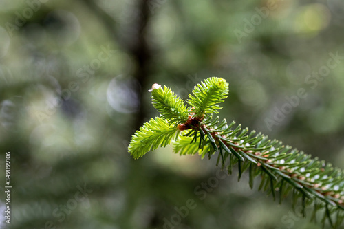Abies Pinsapo branches in a nice garden Canvas Print