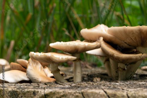 Fototapeta Beautiful closeup of forest mushrooms