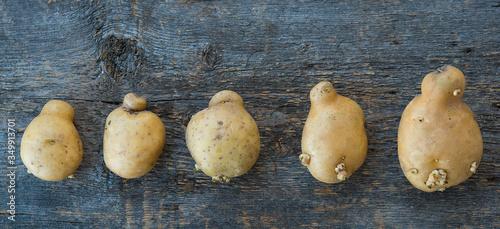 Ugly vegetables, deformed potatoes on a rustic wooden background Slika na platnu