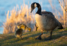 Canadian Goslings And Family A...