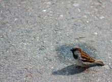 One Sparrow On The Pavement In Sunny Weather Is Looking For A Food