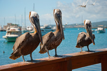 Three Pelicans On A Ledge
