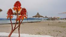 Aloe Vera Plants And Wicker Um...